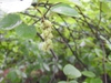 Corylopsis spicata fruits summer