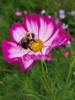 Bumblebee pollinator