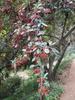 Cotoneaster lacetse