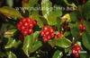 Crataegus x lavalleri leaves and berries