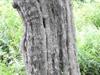 Crataegus nitida bark