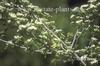 Crategus virdis 'Winter King' flowers