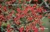 Crategus virdis 'Winter King' berries