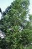 Photo of Cryptomeria japonica