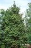 Photo of Cunninghamia lanceolata full