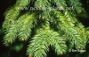 Photo of Cunninghamia lanceolata fronds