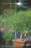 Cyperus prolifer (Cyperus isocladus)