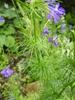 Delphinium spp. foliage
