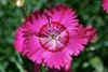 Dianthus gratianopolitanus