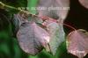 Disanthus ceridifolius