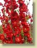 Double Take™ Chaenomeles speciosa 'Scarlet Storm'