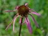 Echinacea laevigata