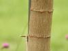 Euphorbia cotinifolia bark
