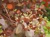 Euphorbia cotinifolia flowers