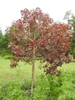 Euphorbia cotinifolia form