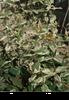 Hypericum androsaemum 'Pollock'