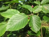 Leaves of F. sylvatica