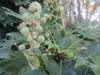 Fatsia japonica flower stalk