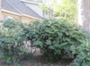Fatsia japonica mature in Wilmington, NC