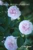 Rosa 'Felicite Parmentier Alba'
