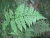 Athyrium filix-femina spp. asplenioides