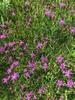 Flowers 'Iron Butterfly'