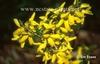 Forsythia viridissima 'Bronxensis' yellow
