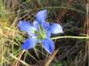 Gentiana autumnalis