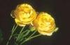 Rosa 'AUSmas'