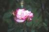 Rosa 'MACha'