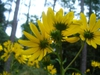 Helianthus maximiliani in the fall in Moore County