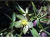Helleborus croaticus in bloom at the JC Raulston Arboretum