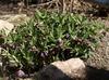 Helleborus croaticus full plant