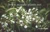 Heptacodium miconioides flowers
