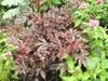 Hibiscus acetosella 'Mahogony Splendor'