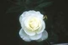 Rosa 'KORturek'