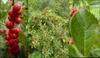 ilex verticillata fruit and leaves