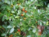 ilex vomitoria 'Taylor's Rudolph' in early fall in Moore County