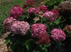 Hydrangea arborescens 'NCHA3' PPAF