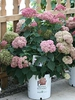 Hydrangea arborescens 'NCHA2' PPAF