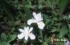 Iris cristata alba