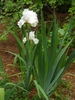 Iris germanica in spring with white flowers and green leaves