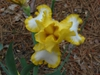Iris germanica in the spring in Moore County