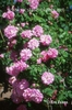 Rosa 'Ispaham'