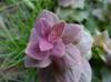 Ajuga pyramidalis flower closeup