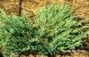 Juniperus chinensis 'Blue Vase'