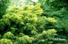 Juniperus chinensis 'Saybrook Gold'