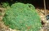 Juniperus communis 'Echiniformis'