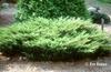 Juniperus communis 'Depressa'