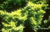 Juniperus horizontalis 'Lime Glow'